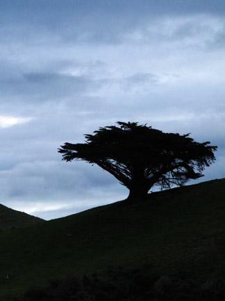 cove_tree