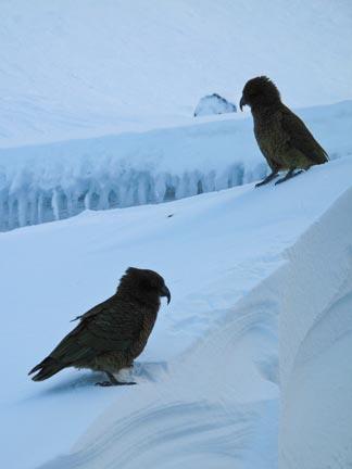 Kea Birds