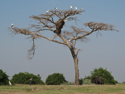 This massive dead tree was out behind the village.  There were sever different bird species and a cape buffalo just hanging out.  It was a pretty surreal scene.