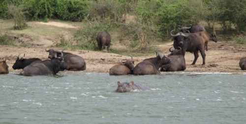 Cape Buffalo and Hippos lounging by the channel side.