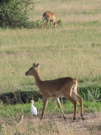 Kob and Egret