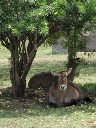 Water buck under tree at camp site