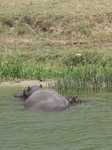 Hippo with calf along channel edge