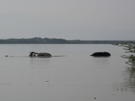 Hippos by Village
