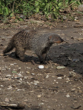 Mongoose looking for food scrapes in camp