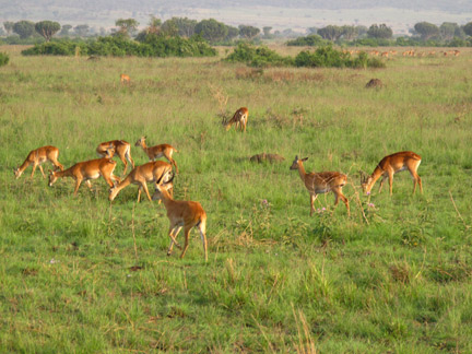 Group of Kob