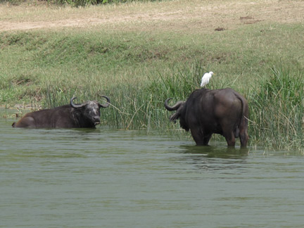 Cape Buffalo with Egret on its back