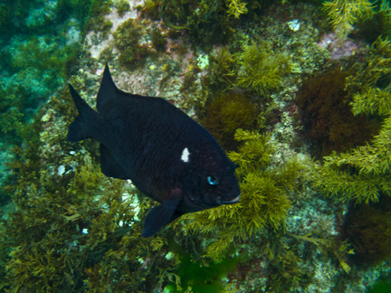 Black Angel Fish