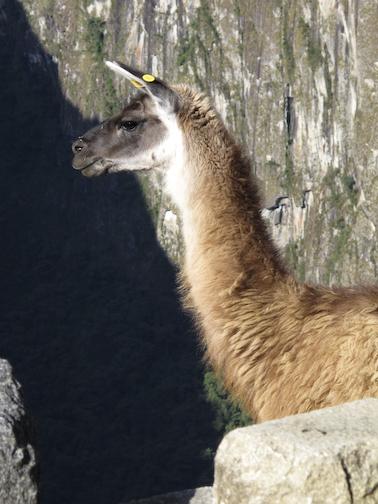 Al Paca at Machu Picchu