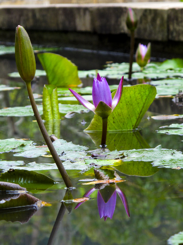 Central Java Water Lilly