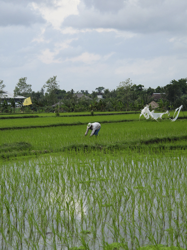 Rice Paddy and Farmer